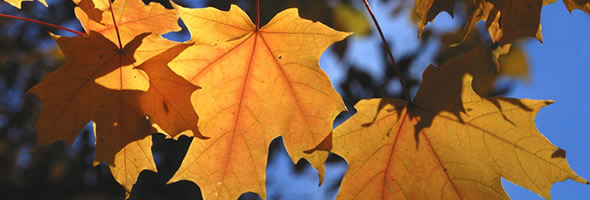 maple-banner